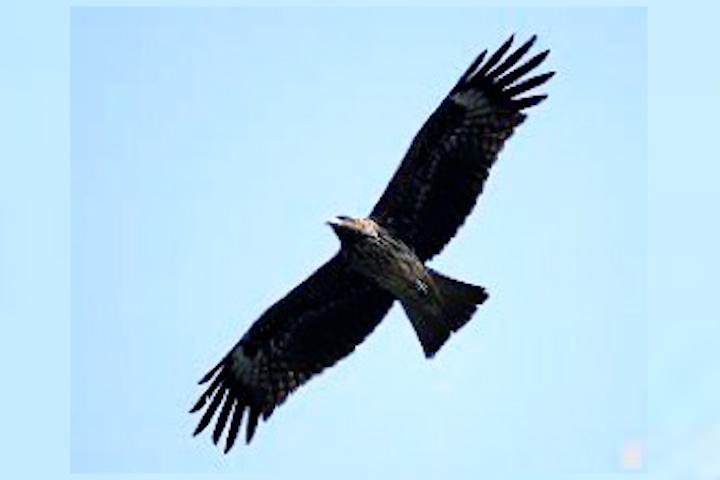 老鷹抓小雞的來歷-圖片.jpg